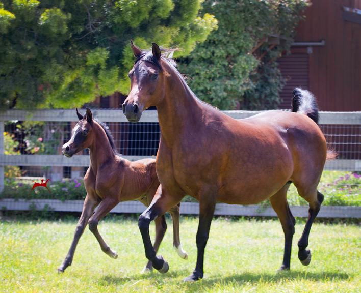 Satine IA and her 2016 colt by Audacious ps Shades of Grey V