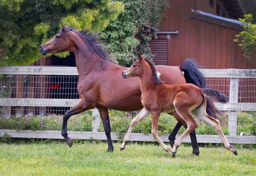 Santa Barbara Juell V and her 2016 Bey Ambition foal, Savannah V