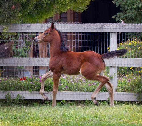 Savannah V -  (Bey Ambition x Santa Barbara Juell V) 2016 Filly