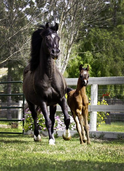 Sweet Silk V and her 2016 Audacious ps colt, Silkwood V