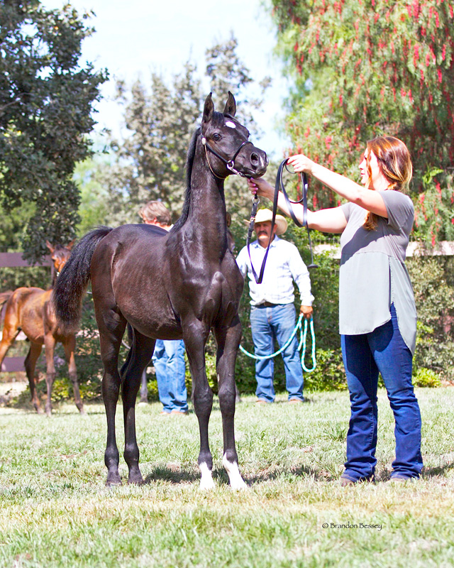 2017 Arabian Oaks Breeders Jamboree - Sir Blackjack Mac V: 1st Place Weanling Colts - Halter Type
