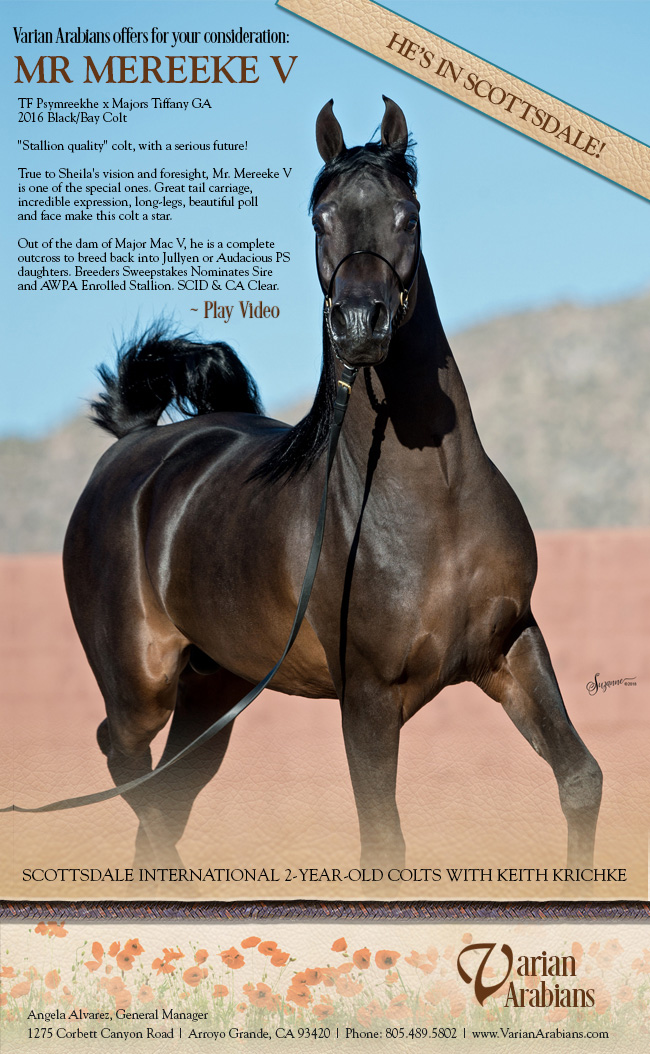 Latest Happenings Varian Arabians Stallions At Stud Horses For Sale Major Mac V Bay Abi Bay El Bey Huckleberry Bey Moska Mosquerade V Sweet Shalimar Mares Foals Breeding Arroyo Grande California
