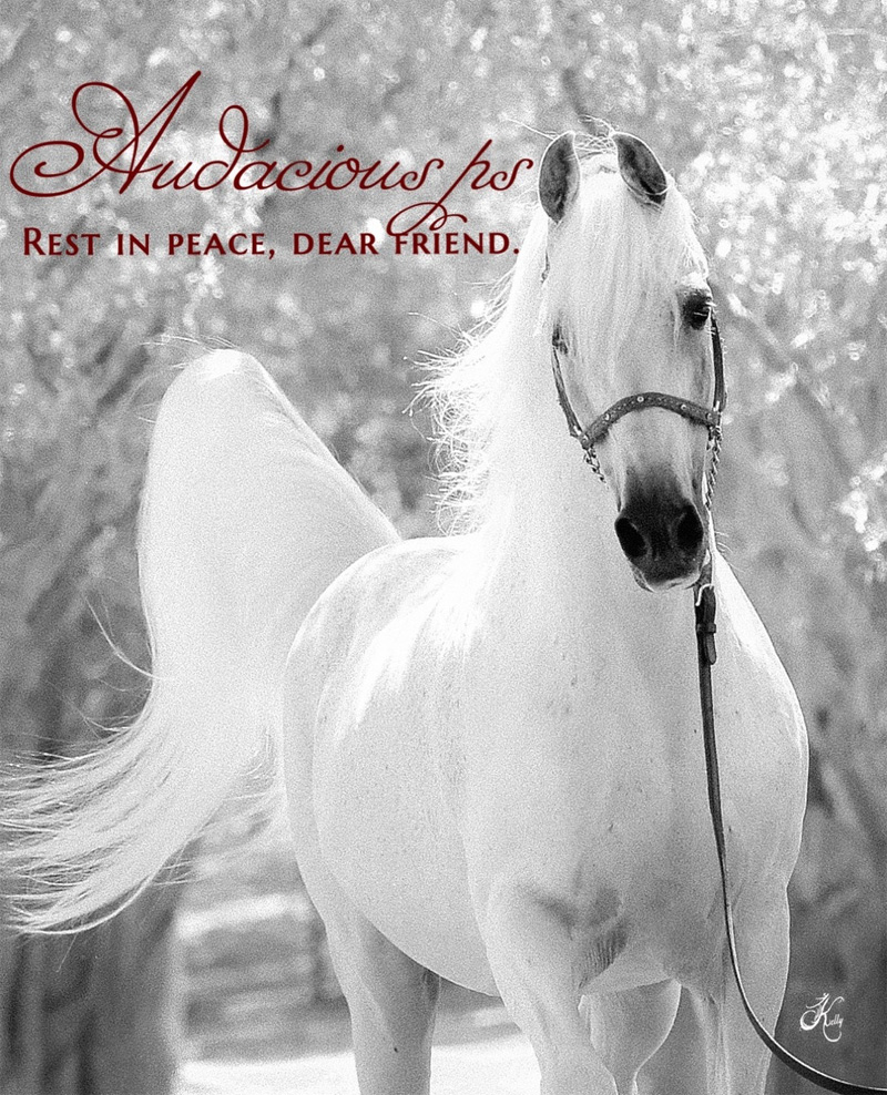 Audacious ps - The grand gentleman of Varian Arabians